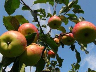「カナン」のリンゴ